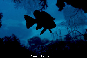 Sweetlips silhouette in a small cave by Andy Lerner 
